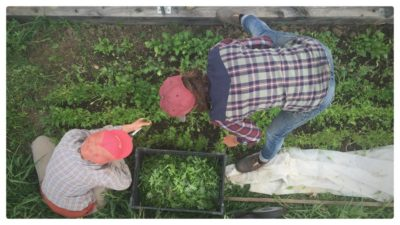 harvesting-salad-mix