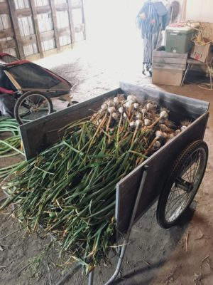 Wagon full o' organic garlic