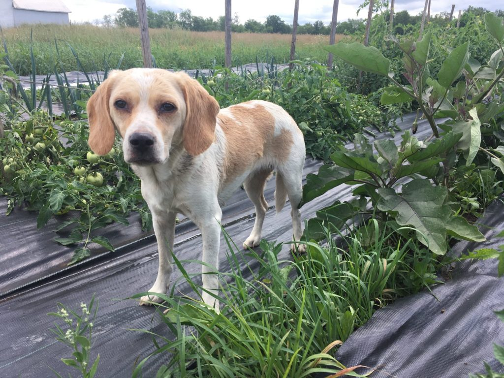 Little Lost Dog in the Tomato Patch