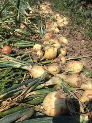 Organic Onions in the Dirt