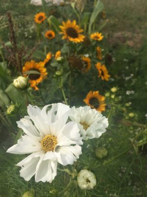 Sun and Cosmos Flowers