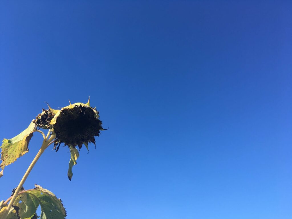 Sad Sunflower