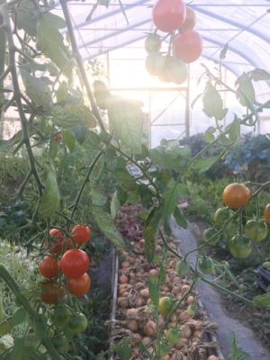 heavenly tomatoes