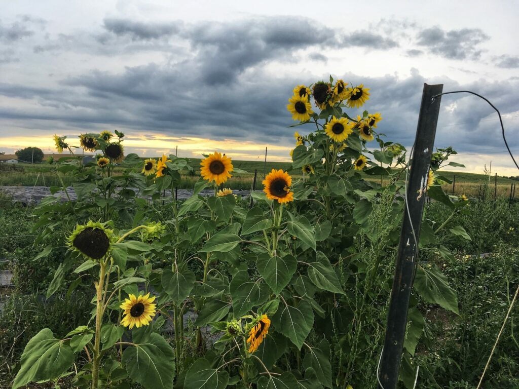 This Year's Dramatic Sunflowers