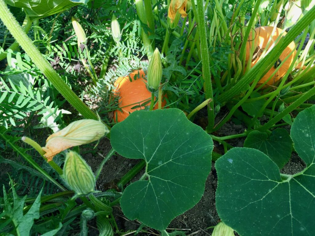 Below the Squash Leaf Canopy