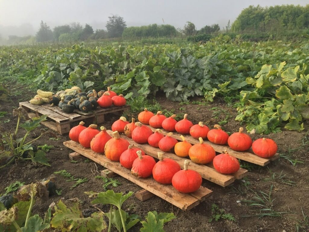 Organic Squash in the Field