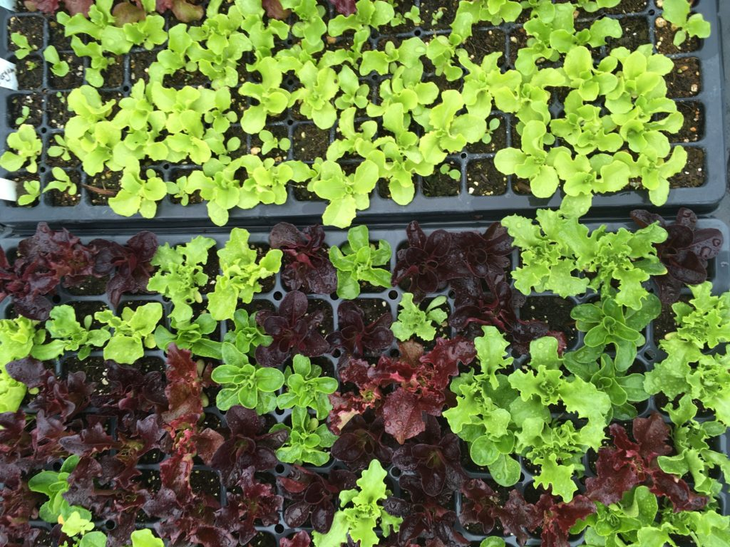 Trays of greens in the greenhouse, May 1 2019