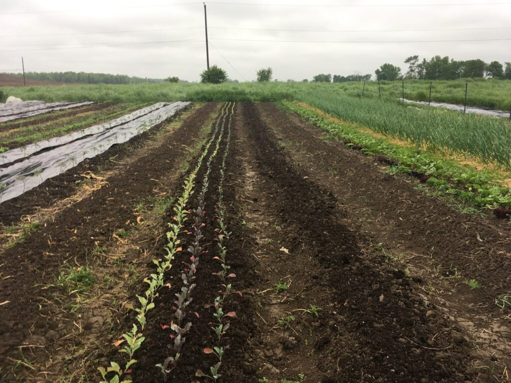 Rows of freshly planted veggies