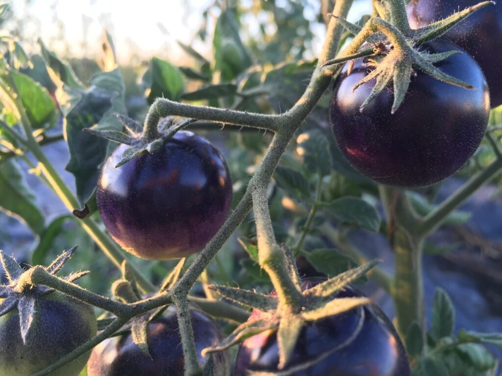 Dark Organic Tomatoes on the Vine