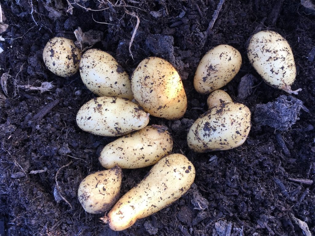 Organic Fingerling Potatoes in the Ground