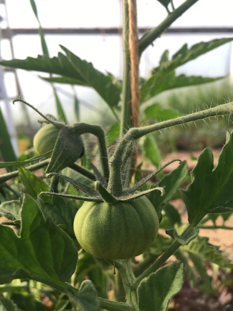 Tomato in the Greenhouse